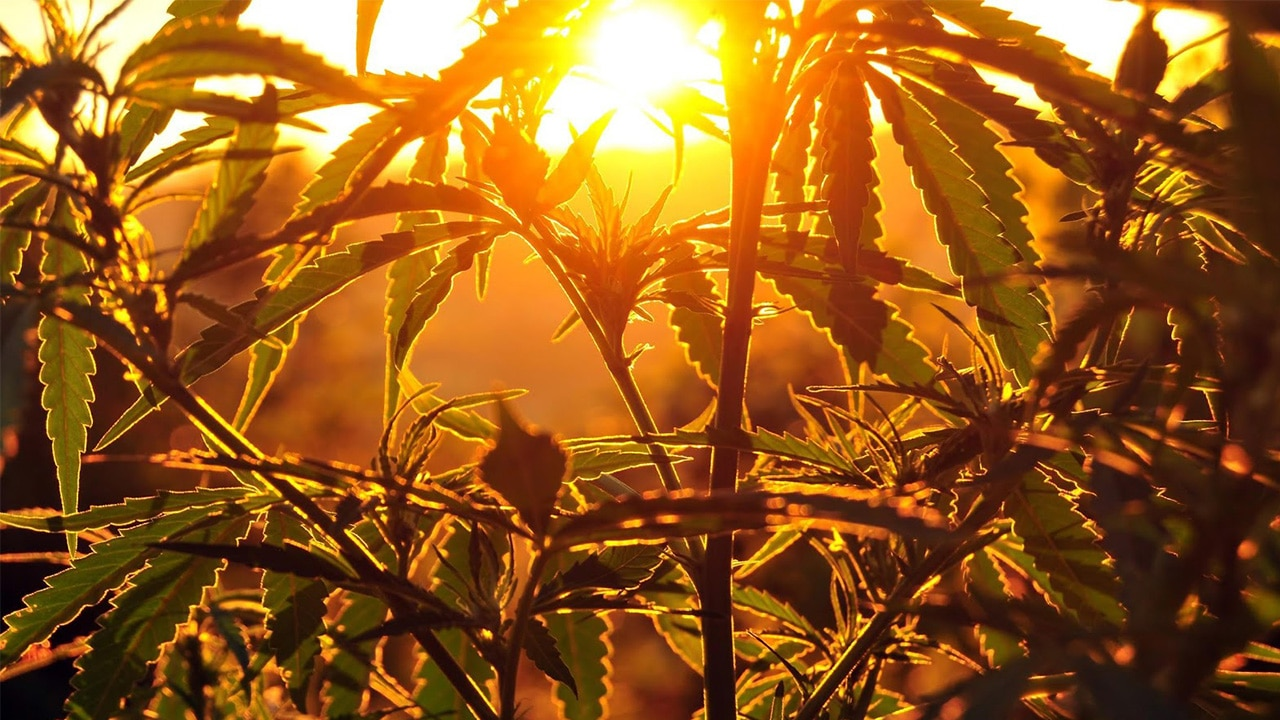 How To Grow Industrial Hemp The Ultimate Guide